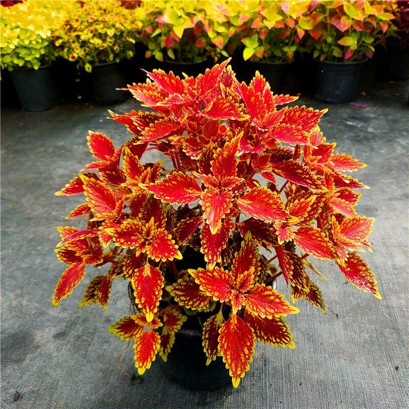 coleus-semillas-de-scutellarioides-para-el-hogar-flores-en-maceta-muebles-para-el-bano-jardin-plantas-cesped-de-colores-fr-82-100-uds