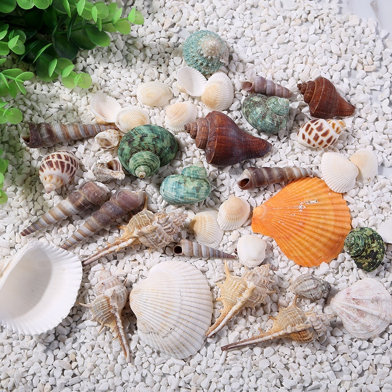 natural shells Conch Landscape Decorations Gift Family home decoration aquarium Fish tank Marine theme Party Decor DIY Crafts