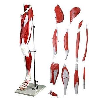 Human Leg Muscle Model Lower Limb Muscles Anatomical Model Vascular And Neuroanatomy Science Teaching View Model