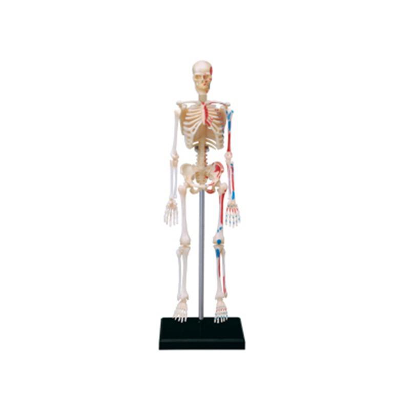 New    Skeleton Human Organ Anatomy Model    Medical Teaching DIY Tools   Intellectual Assembly Toys