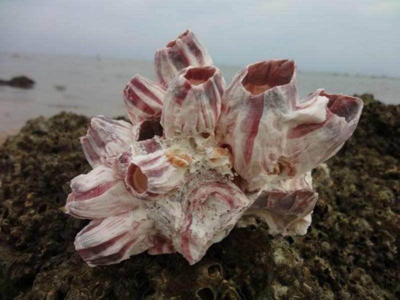 Aproximadamente 12-13CM conchas de mar naturales acuario decorativo conchas de adorno de CORAL blanco fósil grande al por mayor