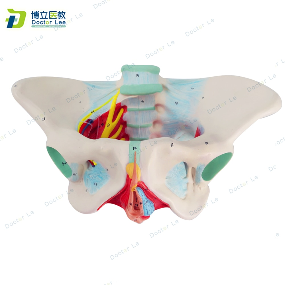 New Products Plastic Female Pelvis Anatomy Skeleton Model with Muscle and Color Area for Medical Teaching and Learning new products plastic female pelvis anatomy skeleton model with muscle and color area for medical teaching and learning