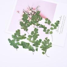 1 bag Maidenhair fern hay embossing diy glue mobile phone case bookmark pressed flower painting plant specimen