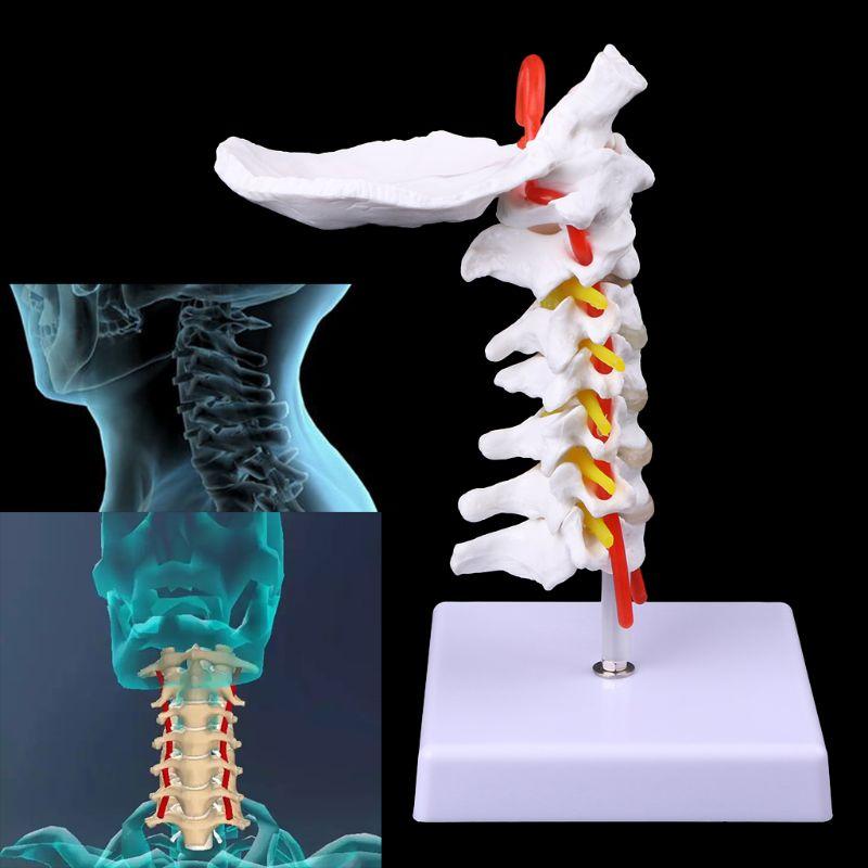 Шейный позвоночник, артерия позвоночника, спинномозговые нервы, анатомическая модель, размер жизни, легко и легко моется, модель позвонка шейки матки