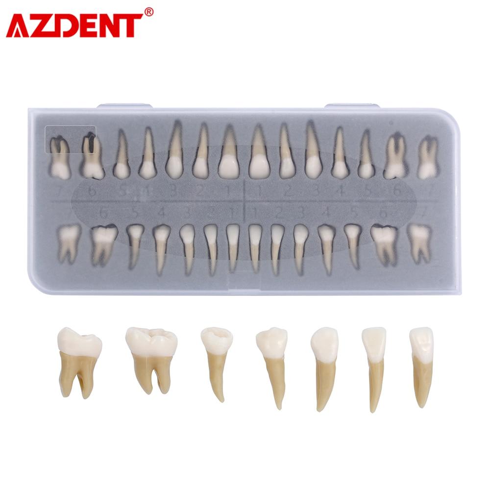 Adult Teeth Model 28pcs 1:1 Permanent Teeth Dental Model ZYR-7008 Resin School Teaching Equipment