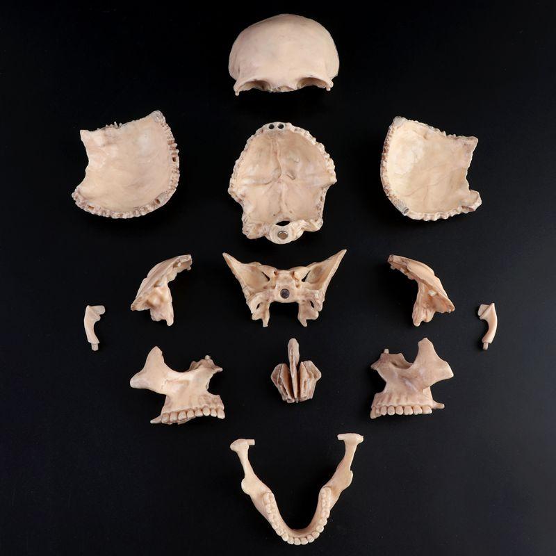 15pcs/set Detachable Skull Model Human Adult 1:2 4D Disassembled Skull Anatomical Model Detachable Medical Teaching Tool