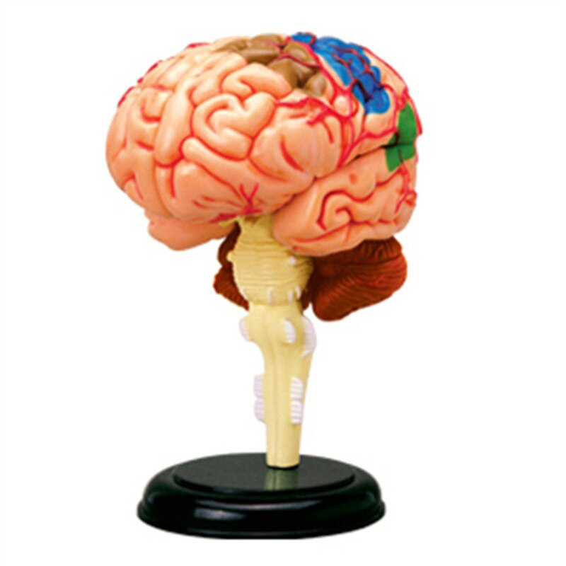 New   Anatomical Model Of Human Brain Organs   DIY Teaching Aids For Medical Teaching   Intelligence Assembling Toys