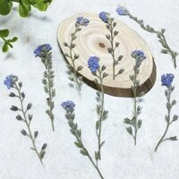 60pcs 4 7cm pressed dried myosotis sylvatica forgetmenot flower plant herbarium for jewelry postcard bookmark phone case diy