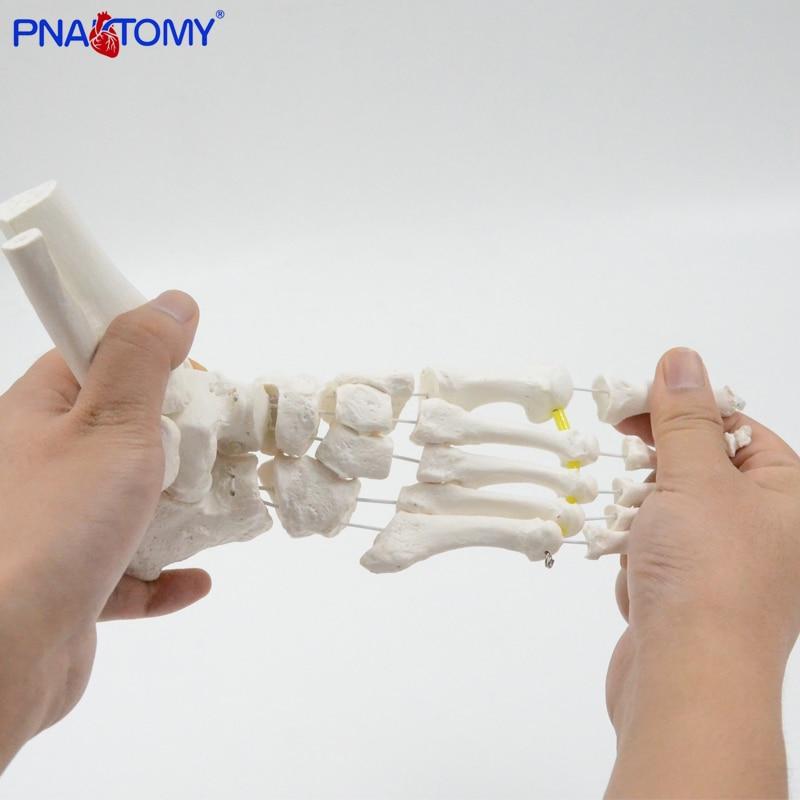 Flexible Foot Bone Model Human Skeleton Anatomy Medical Teaching Tool Educational Equipment Ankle joint model Life Size human shoulder model life size medical teaching tool skeleton anatomy