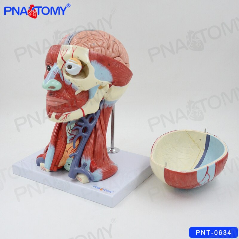 Human Head Anatomical Model Skull Muscles and Brain Anatomy Blood Vessel Neck Medical Teaching Tool College Demonstration