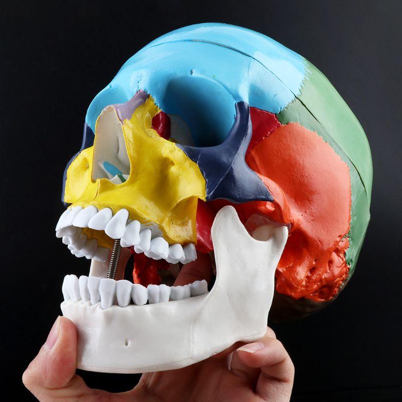 Modelo de cabeza de adulto humana de colores a escala 11 con tronco cerebral, suministro de herramienta de enseñanza médica para anatomía
