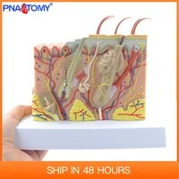 human skin structure model 35 times enlarged plastic hair layer anatomical model medical teaching tool with manual