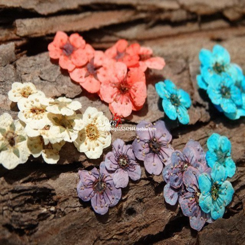 Pequeña Flor de Narciso pequeña estrella Mini gofrado con flores secas hecho a mano DIY flor seca pegamento hecho a mano Material