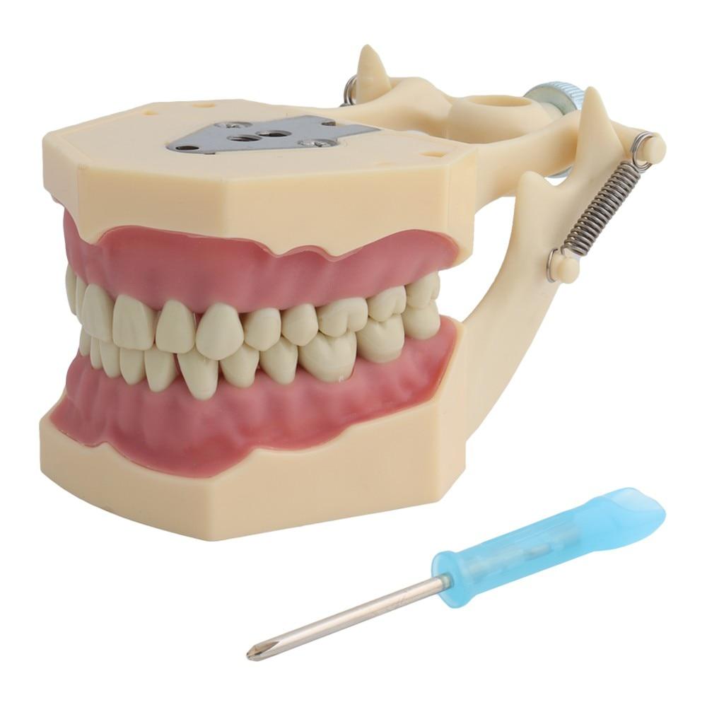 Frasaco Style Dental Model Teeth Model Dental Teaching Model Standard Model with 32pcs Screw-in Teeths Demonstration