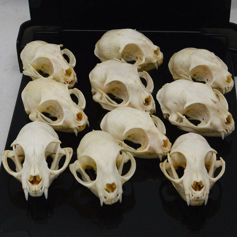 Pces Real Animal Crânio Espécime Colecionáveis Estudo 10