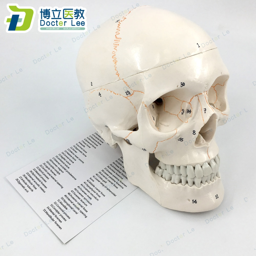 3 Parts Life Size Human Skeleton Skull Anatomical Model with Numbers for Medical Teaching and Learning new products plastic female pelvis anatomy skeleton model with muscle and color area for medical teaching and learning