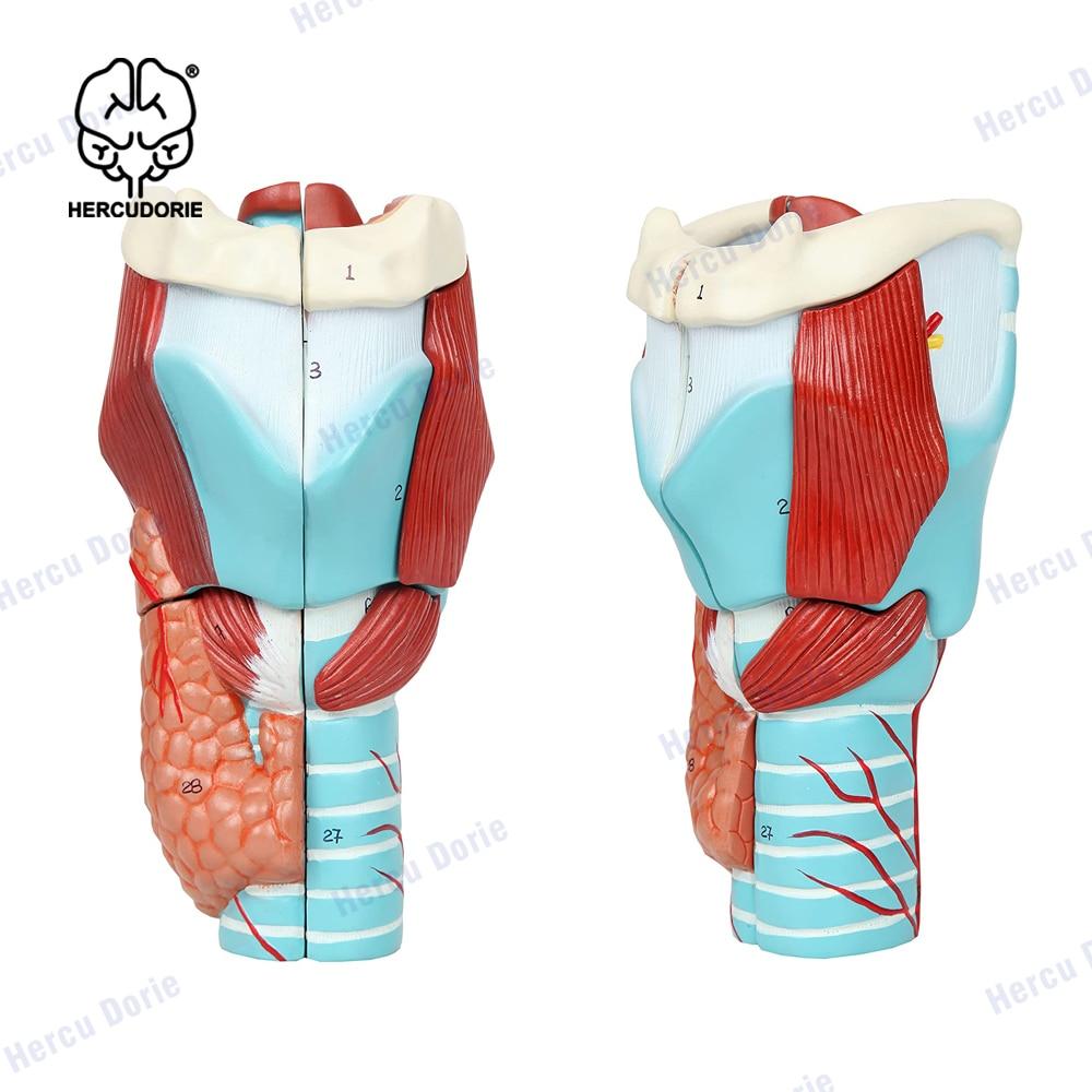 Увеличенная модель горла человека 2X, анатомическая Точная Модель горла для изучения науки, класса