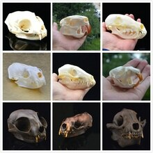 Véritable crâne de Coypu, crâne de rat musqué, crâne de renard, crâne de vison, étude de spécimens de crâne danimal