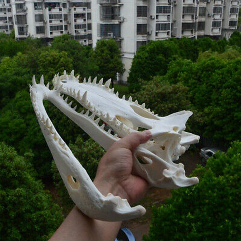 1Pcs 20-40 CM length Animal skull specimen Genuine Crocodylus siamensis Siamese Crocodile Skull Taxidermy