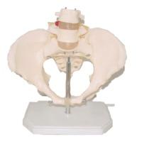 Pelvic belt 2 lumbar vertebrae
