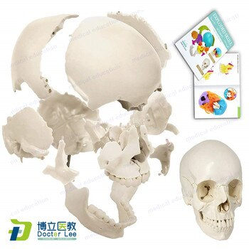 22 Parts Life Size Disarticulated Human Anatomical Skull Skeleton Model with Bone Color for Medical Educational Student Learning