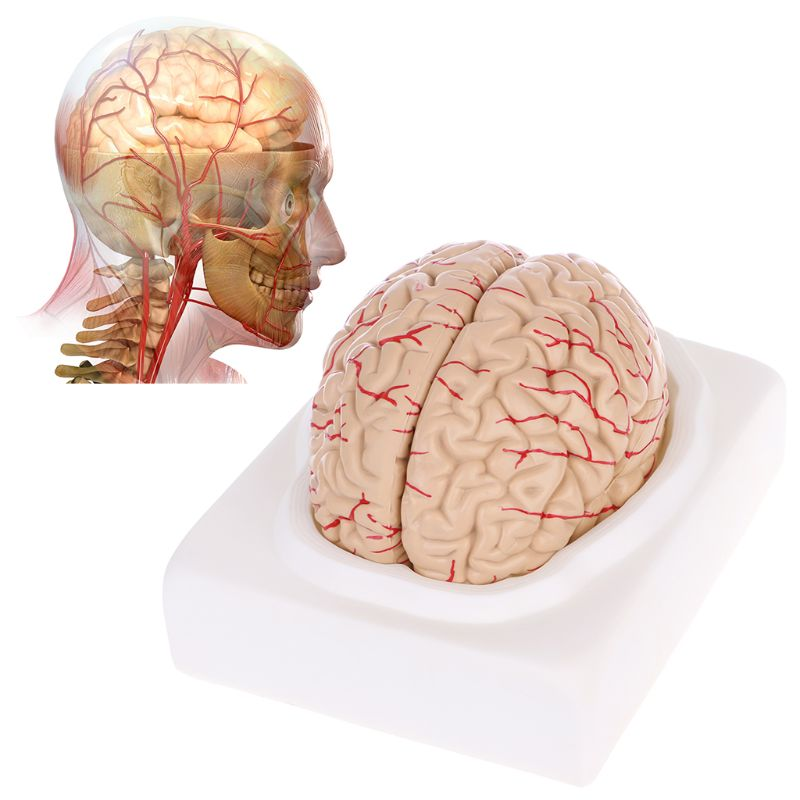 Free postage Disassembled Anatomical Human Brain Model Anatomy Medical Teaching Tool human 1 1 right hemisphere functional area anatomy human brain model medicine teaching mdn006