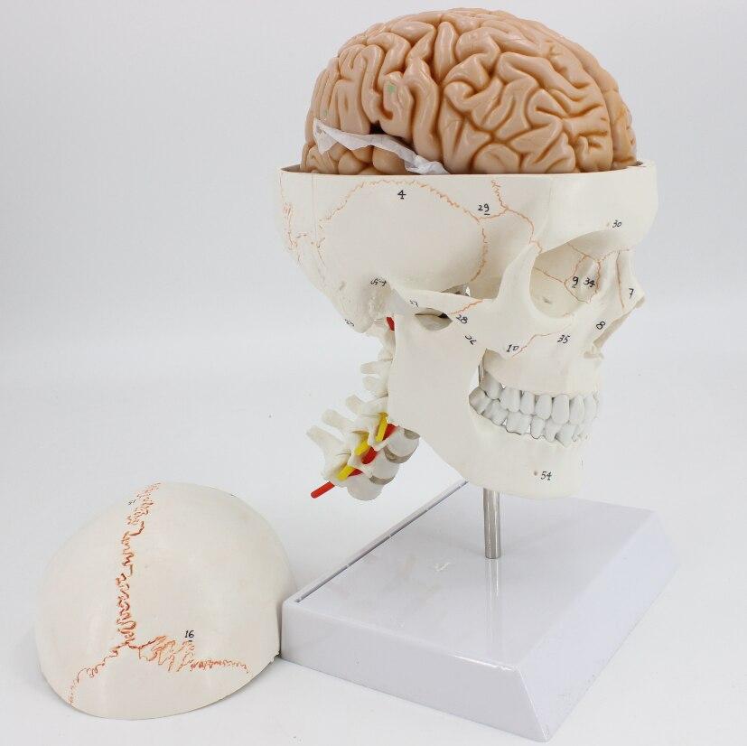 نموذج تشريحي للدماغ 1:1 مع ترميز رقمي لعنق الرحم والعمود الفقري