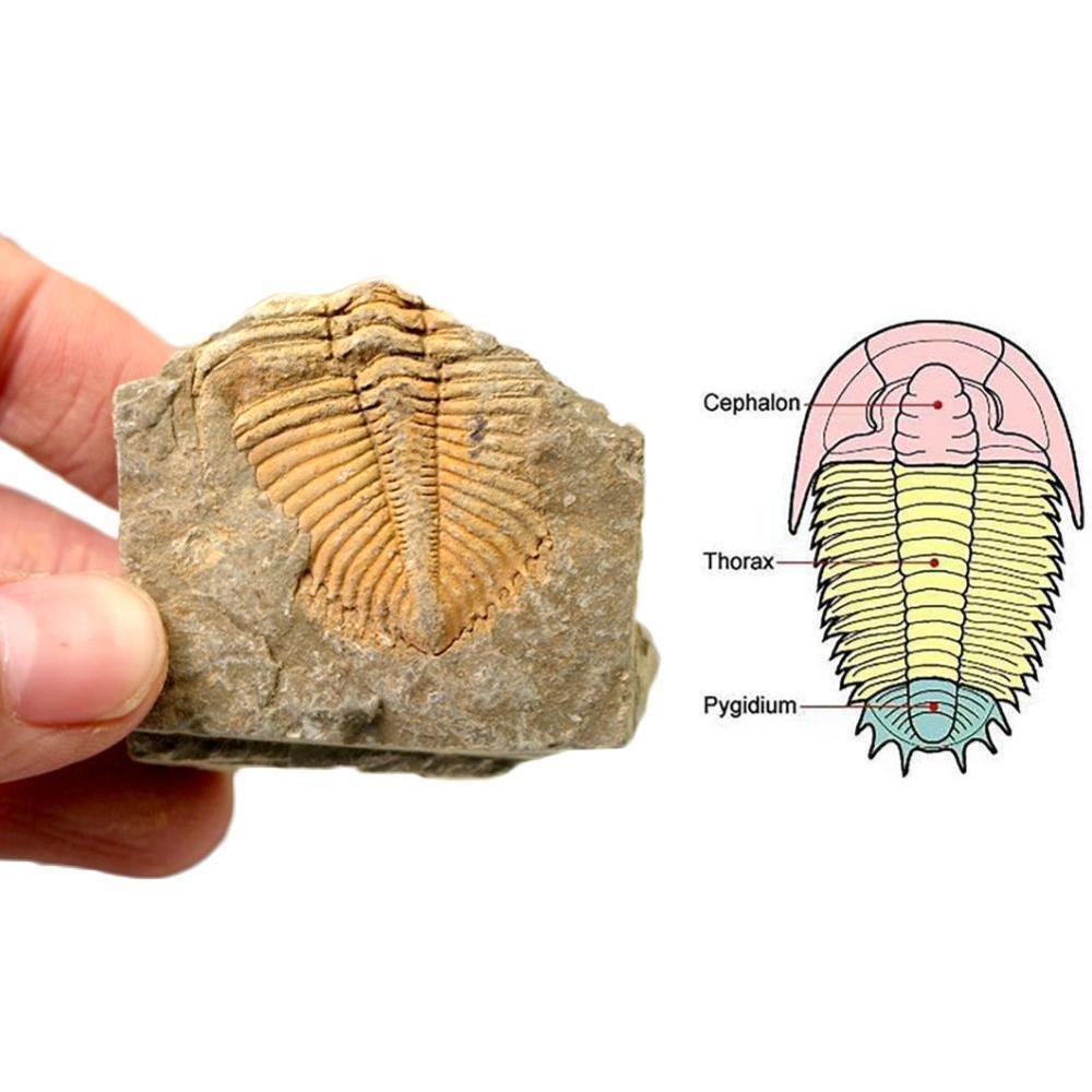 Природные ископаемые трилобит хвост животных коралловый трилобит Корона камень насекомое хвост наука учебный образец коллекция науки