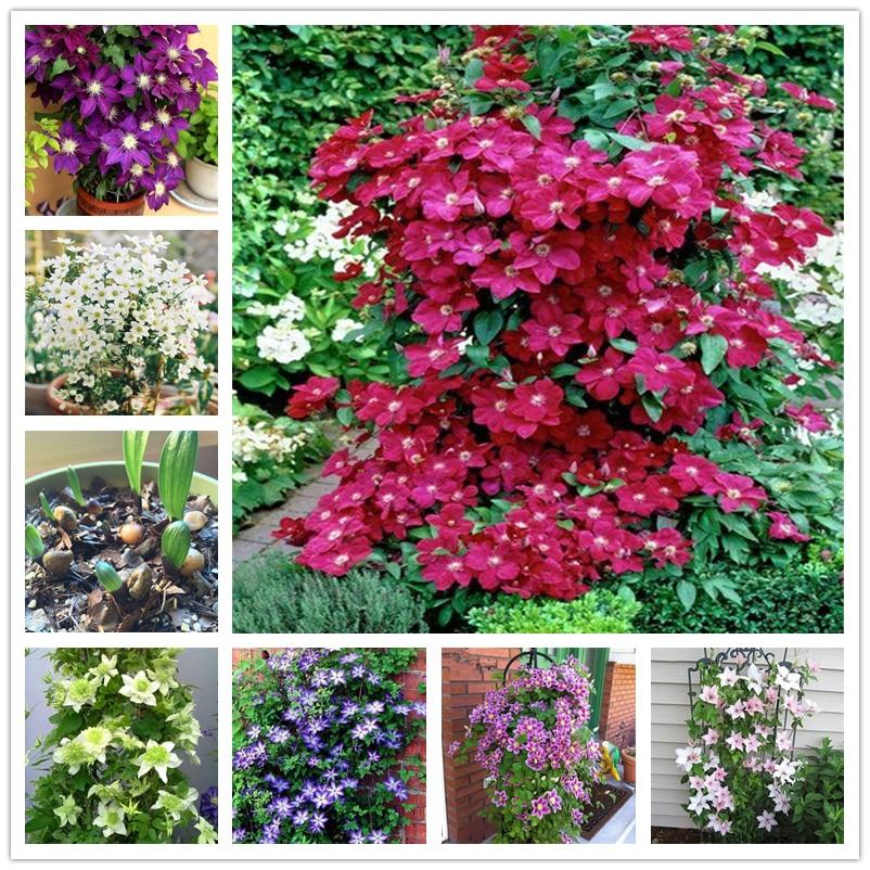 100Pcs Perfume Clematis Seeds Bonsai Garden Flower Nature Plants Home Fragrant Colorful Cream Clematis Essence Lip Mask C3