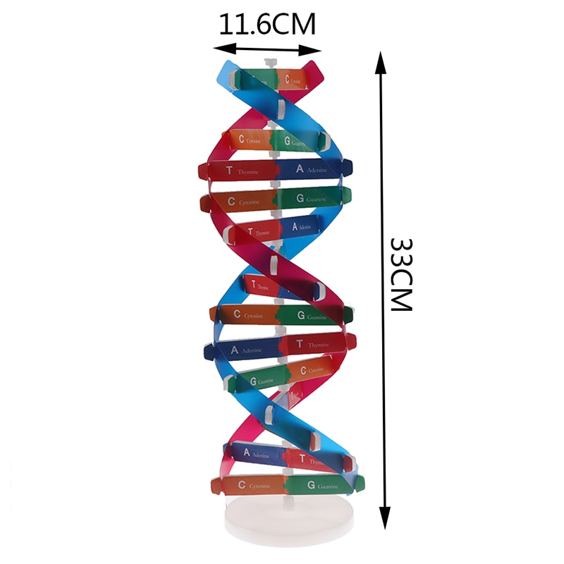 Human DNA Models Double Helix Science Toys Popularization Teaching Learning Education Toys For Child