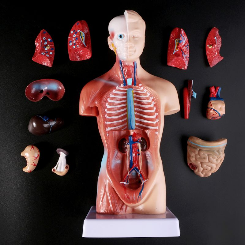 Анатомия тела человеческого туловища, анатомический внутренний медицинский орган для обучения X6HB