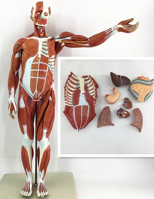 80CM Human Body Muscle with Internal Organ Model Muscle and nternal Organ Anatomy Model  Muscle Distribution Medical Teaching new products plastic female pelvis anatomy skeleton model with muscle and color area for medical teaching and learning