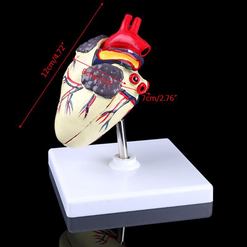 Anatomía del corazón para perros, modelo canino para mascotas, órgano para estudiar, enseñanza y enseñanza
