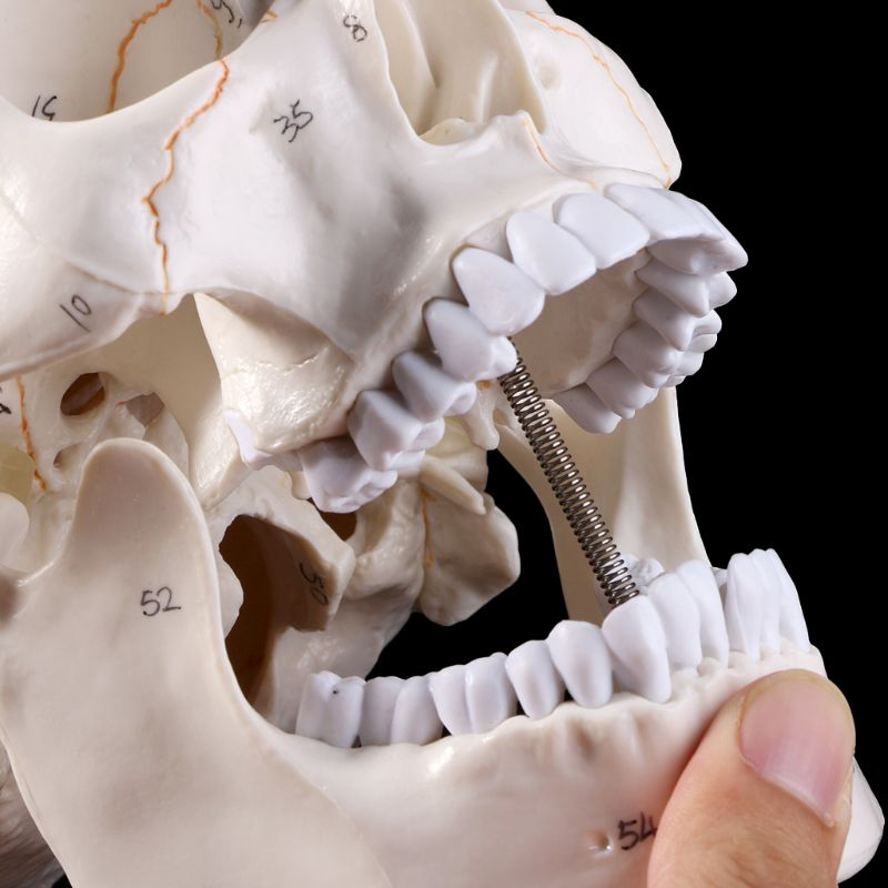 life size human anatomy skull model head skeleton teaching model medical tool arts detachable anatomical model plastic pnatomy Life Size Human Skull Model Anatomical Anatomy Medical Teaching Skeleton Head Studying Teaching Supplies