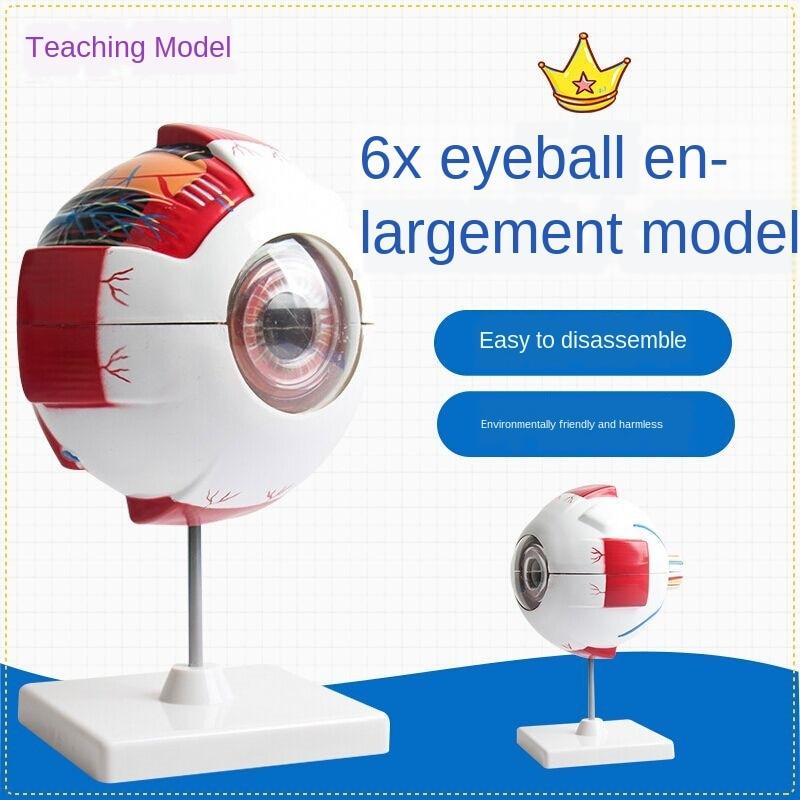 Human Eye Model Enlargement Anatomical of the Teaching Medical