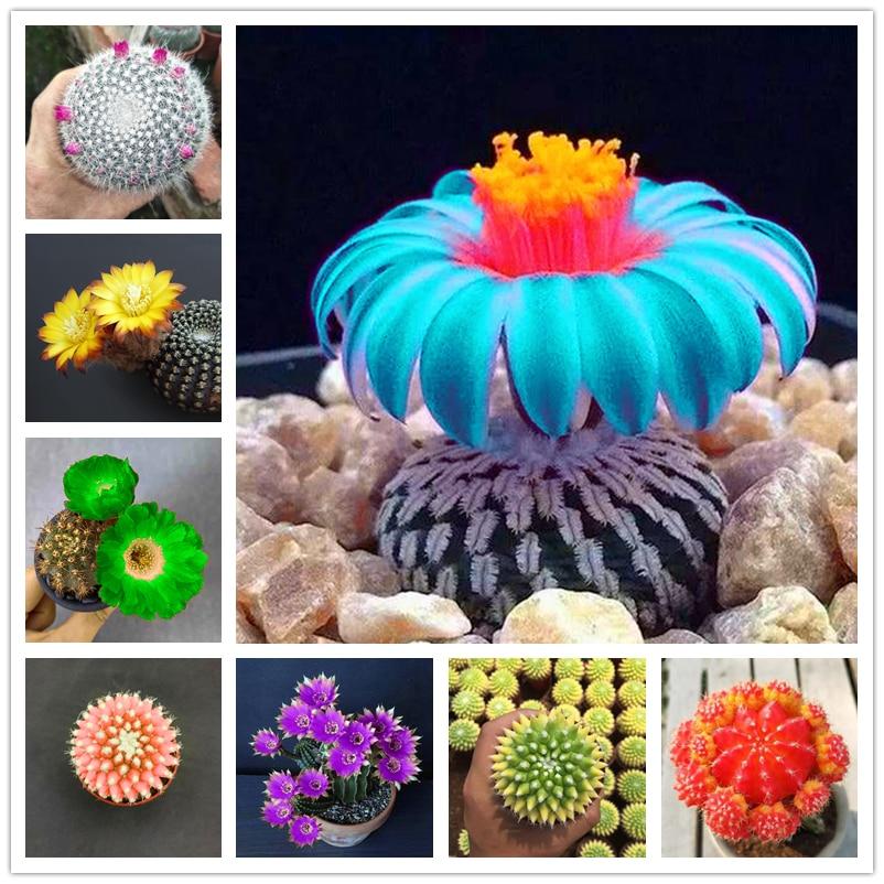 plantas-suculentas-para-el-hogar-plantas-de-jardin-naturales-plantas-de-euphorbia-obesa-cactus-raro-flores-armario-de-bano-hz-v2-50-uds