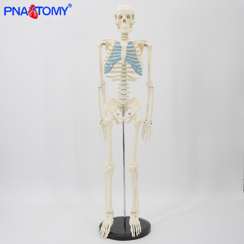85cm skeleton model human anatomy skull spine ribs pelvis bone arms and legs foot and hand bone model with base medical tool new products plastic female pelvis anatomy skeleton model with muscle and color area for medical teaching and learning