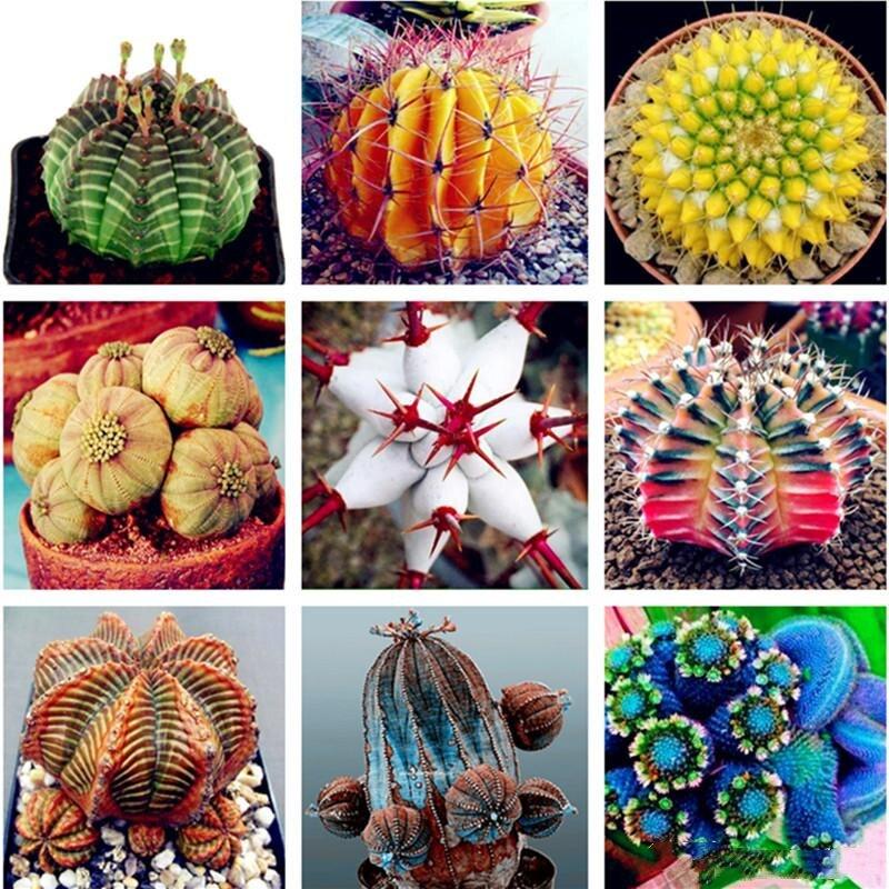 50Pcs Succulent Seeds Garden Nature Euphorbia Obesa Plants Home Rare Cactus Flower Aromatic Plant In