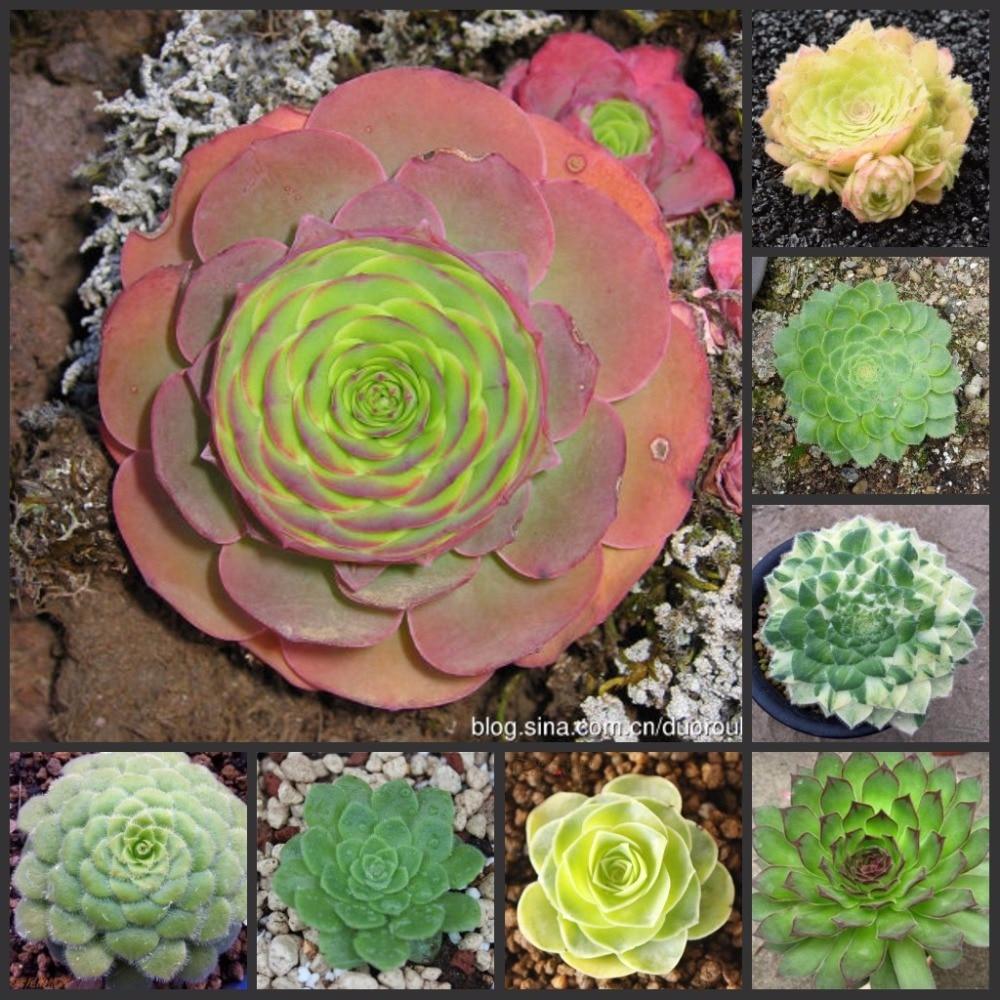 100PCS Fresh Real Aeonium tabuliforme  - Mingjing - Succulent Flower SS