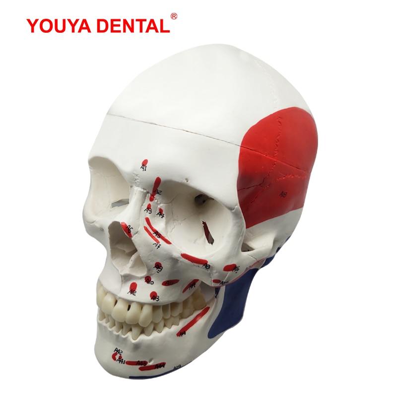 life size human anatomy skull model head skeleton teaching model medical tool arts detachable anatomical model plastic pnatomy Anatomical Muscular Skull Model Real Size Human Anatomy Model Head Skeleton With Tooth Teeth    Medical Dental Teaching Supplies