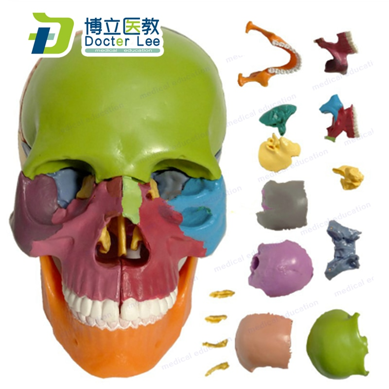 Mini Skull Model 15 Parts Human Anatomy Skeleton Colorful Assembled  Toy for Medical and Art Teaching and Learning new products plastic female pelvis anatomy skeleton model with muscle and color area for medical teaching and learning