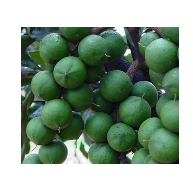 الخام المكاديميا هاواي الجوز ، كوينزلاند الجوز البذور حزمة ، بذور 50 قطعة دون الأخضر شل هاواي ، مصنع متموج
