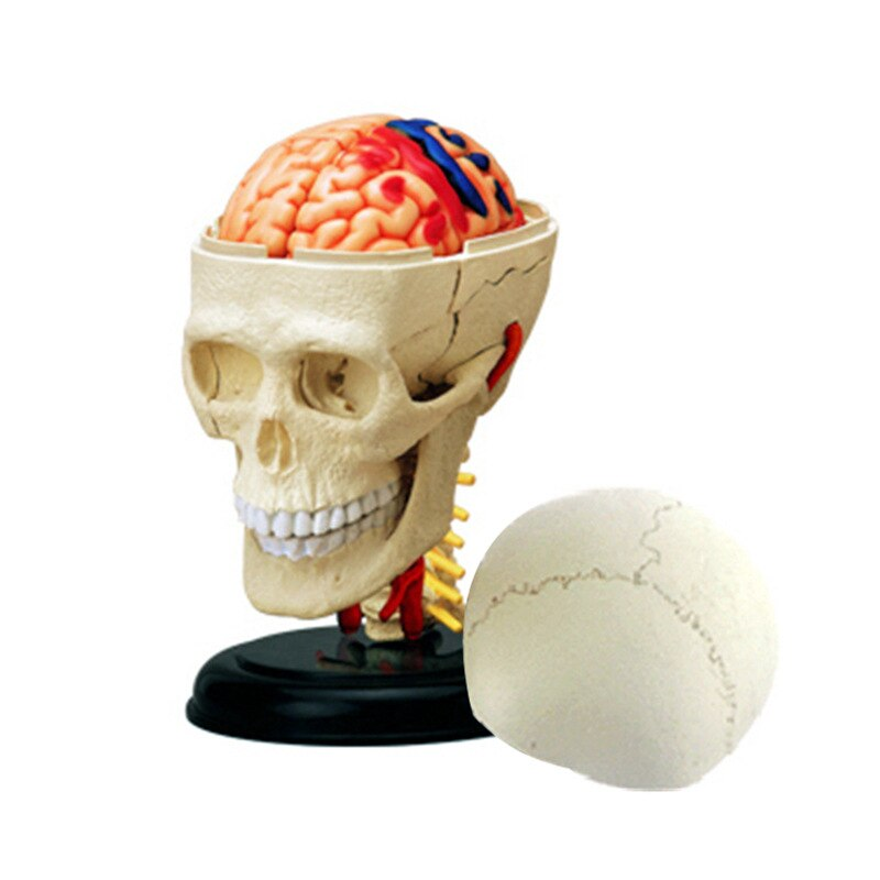 New  Assembling Toys For Intelligence   Human Skull Organ Anatomy Model    Medical Teaching DIY Tools