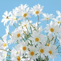 5 heads dutch daisy daisy cosmos chamomile 41cm used for wedding valentines day party home and partition decoration