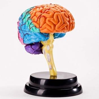 Brain professional set teaching AIDS brain deluxe experimental set