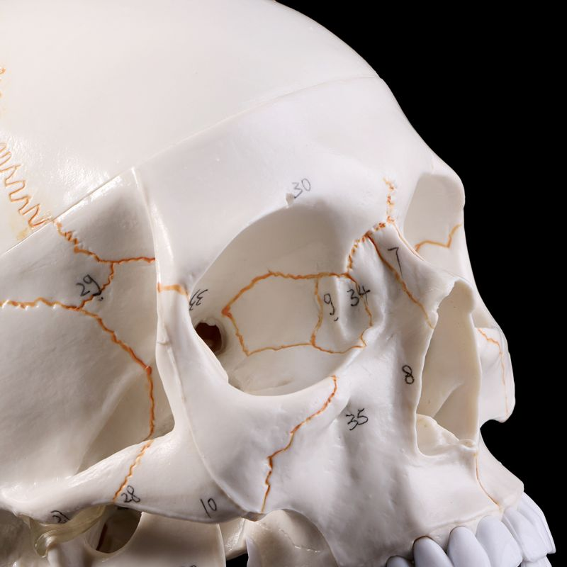 Life Size Human Skull Model Anatomical Anatomy Medical Teaching Skeleton Head Studying Teaching Supplies human shoulder model life size medical teaching tool skeleton anatomy
