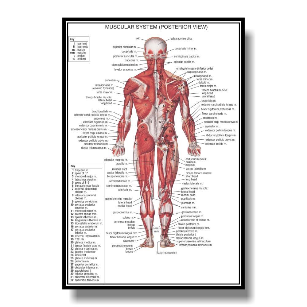 Cartel anatómico del sistema Muscular Tabla de anatomía de los músculos de la columna