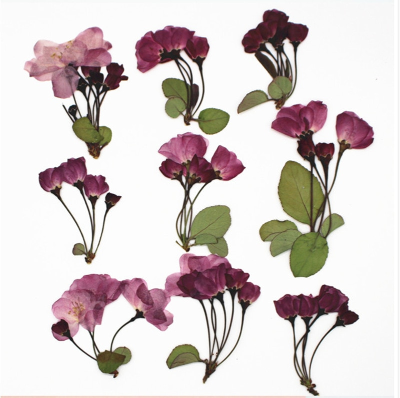 12 шт./упак. Бегония сухих цветов прессованные цветок Бегонии