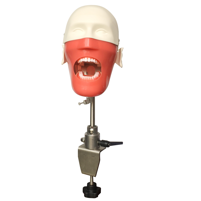 Dental Teeth manikins models Phantom Head  for teaching Pratice learning in dental classes Dental Student model