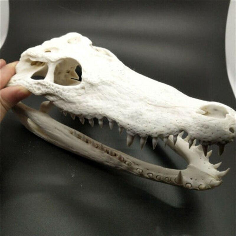 حقيقي حقيقي سيامي التمساح الجمجمة تاكسيدرمي (من المزرعة) 20 سنتيمتر-40 متر الحيوان الجمجمة عينة شريط حفلة الحلي أفضل هدية